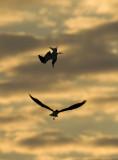 Tern Nupial Flight