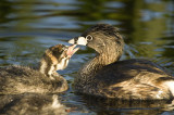 Grebe Mother and Chick