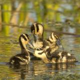 0Black-bellied Whistling Duck Preening Chicks
