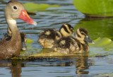 BBWD parent and chicks