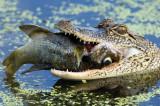 072710 Alligator with fish0169