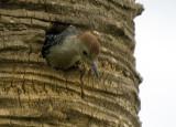 20100806_0293 Viera Red-bellied Woodpecker Chick