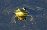 20101005_Viera Pig Frog  1871.jpg