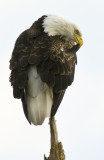20101111  Eagle Preening  3539.jpg