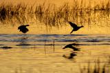 Coots on the Run