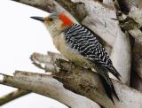 Red-bellied Woodpecker 5735