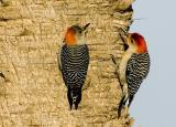 Red-bellied woodpecker  8752