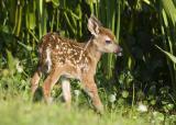 Baby Deer  0795