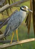 Yellow-crowned Night Heron 1079