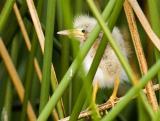 Least Bittern Chick 2377