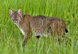Bobcat 3252