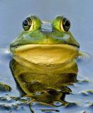 Pig Frog 4553