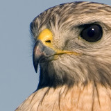 Red-shouldred Hawk 1575