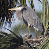 Great Blue heron with chick    2946