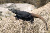Lizard     6955