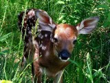 White Tailed Fawn 2