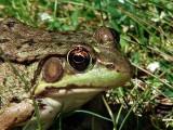 Green Frog Up Close