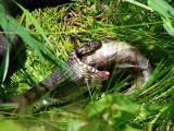 Water Snake Eating Fish 1