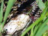 Water Snake Eating Fish 3
