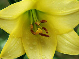 Yellow Lilly<br> H-5