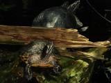 Turtles DSC01253.jpg