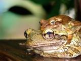 Tree Frogs DSC01249