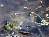 Green Frog...Spread Eagled