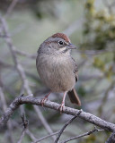 Rufous-crowned Sparrow