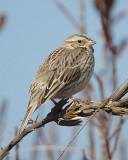 Savannah Sparrow - Ipswich Race