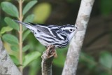 Bllack And White Warbler