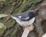 Balck-throated Blue Warbler