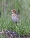 Salt Marsh Sharp-tailed Sparrow