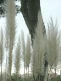 Botanical Garden  - Giantic Grass