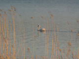 A Swan In The Evening Sun