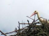 White Stork On Its Nest
