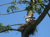 White Storks On Their Nest In The Larch/Tamarack