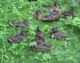 Ducks Having Siesta