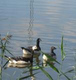 Barnacle Geese / Branta leucopsis
