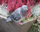 City Pigeon Posing