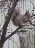 Squirrel 1/4
