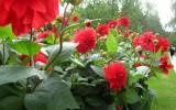 Red Peonies