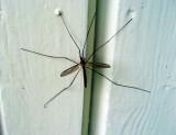 True Crane Fly  (Tipula Paludosa)
