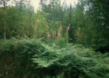 Fern and Fireweed