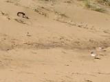 Hooded Plover 1