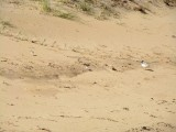 Hooded Plover 7