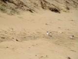 Hooded Plover 8