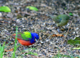 Painted Buntings (male and female)