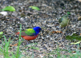 Painted Buntings (male and female) 2