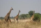 Kapamba Camp Giraffe