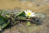 a lotus in bloom